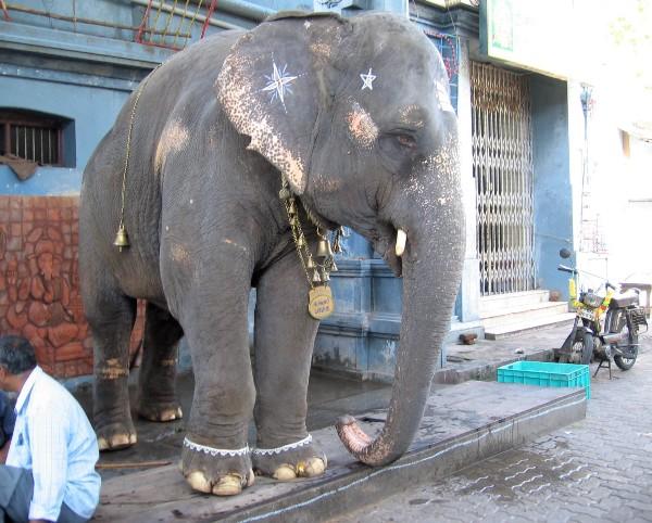 Éléphant du temple Hindou de Pondichéry maquillé, avec des bracelets de chevilles