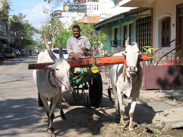 Inde une calèche tractée par 2 buffles blancs et conduite par un indien souriant