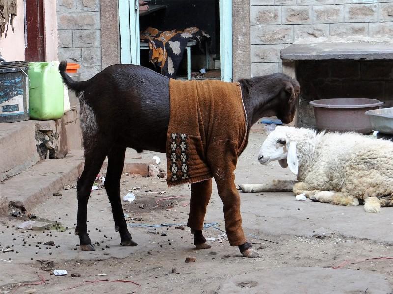 Inde chèvre habillée d'un gilet