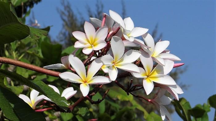 Inde fleurs blanches de frangipanier