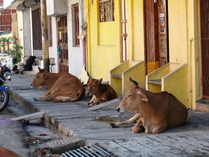 Inde 4 vaches rousses couchées sur un trottoir à l'ombre