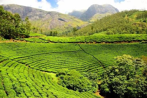 Kérala plantation de thé et collines au fond