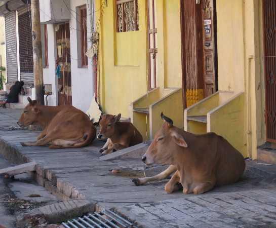3 vaches allongées sur un trottoir