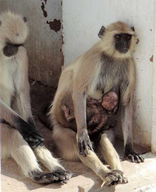 Couple de singe gris avec un bébé